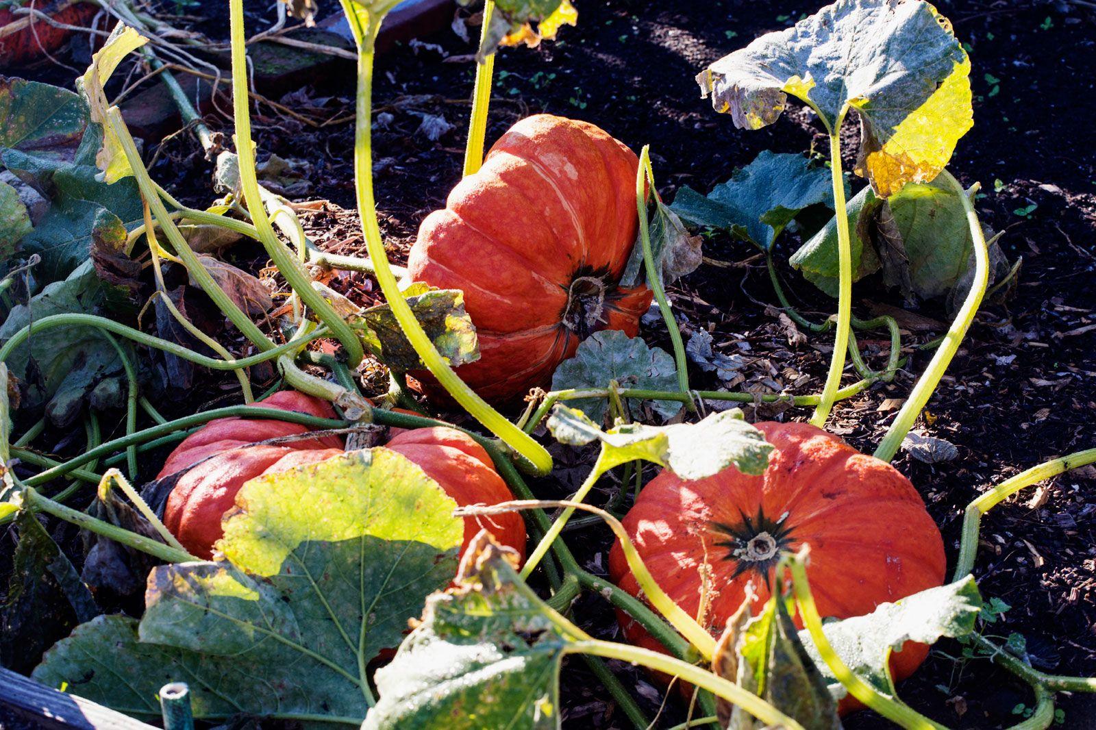 Fall garden clean up preparing a vegetable garden for - Prepare vegetable garden for winter ...