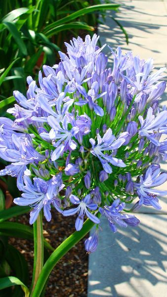 Agapanthus Africanus Blue Available From Paramount Plants And Gardens Crews Hill London Uk Plants Agapanthus Agapanthus Africanus