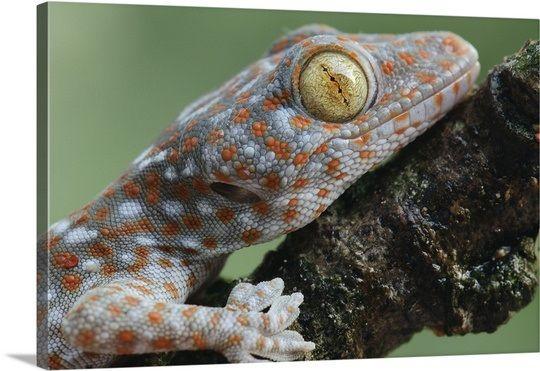 Tokay Gecko juvenile showing vertical pupil, Uthai Thani, Thailand