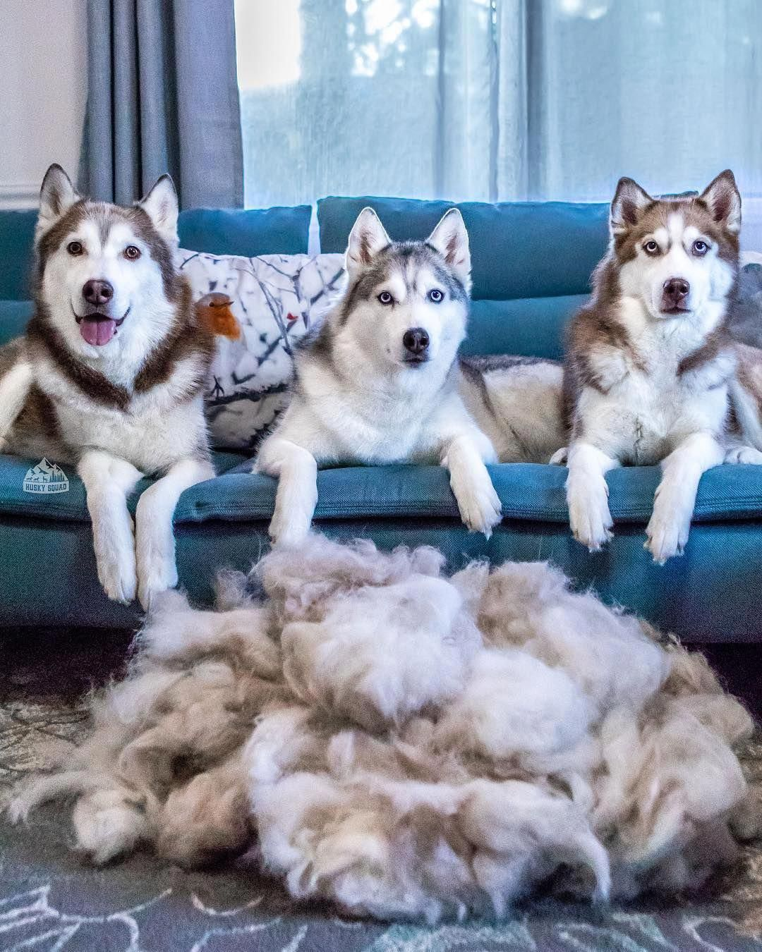 More About Siberian Huskies And Kids Siberianhuskypuppies