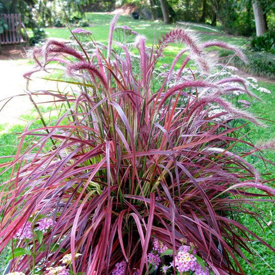 variegated purple fountain grass garden pinterest