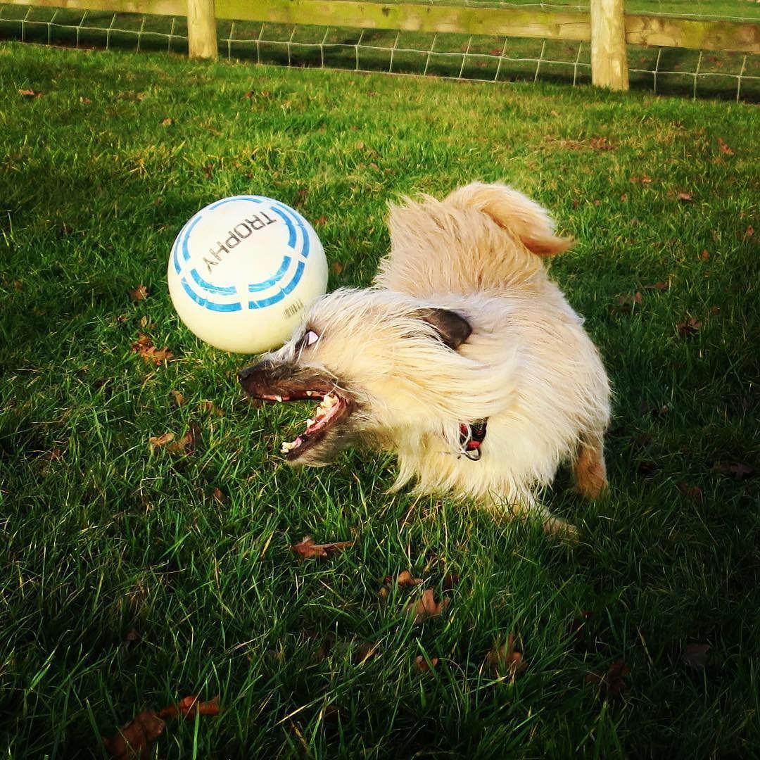 Benji the super dog. @the_adventures_of_benji #dog #puppy #jrt #jrtofinstagram #jackrussellterrier #jackrussell #run #football #dogstagram #games #playing #fitness