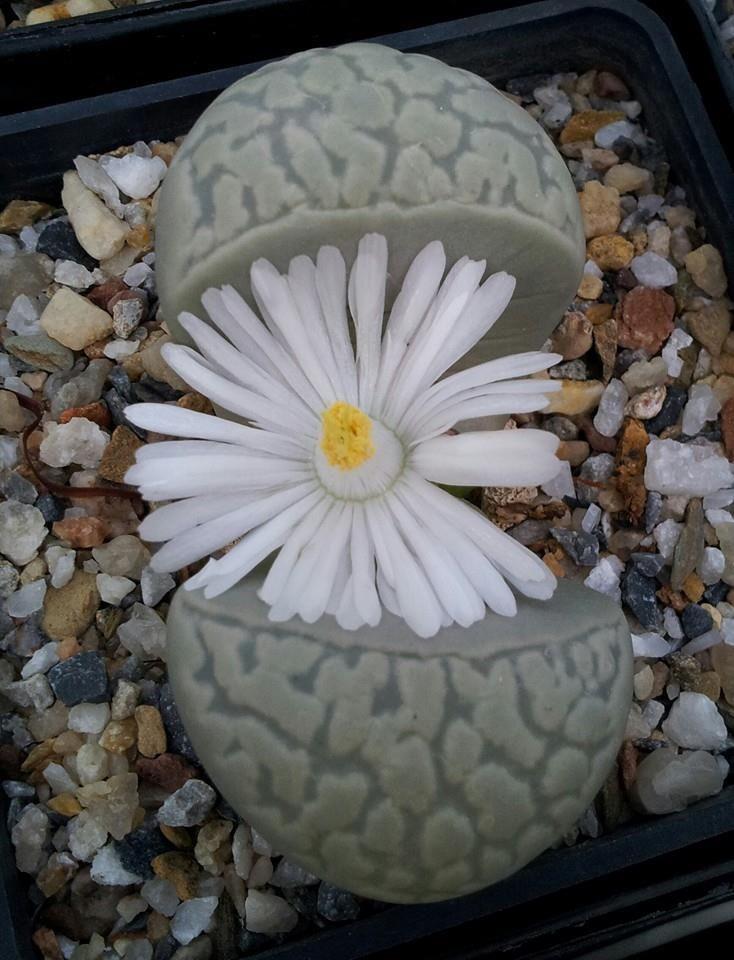 Living-stone: Lithops marmorata elisae [Family: Aizoaceae] in bloom.