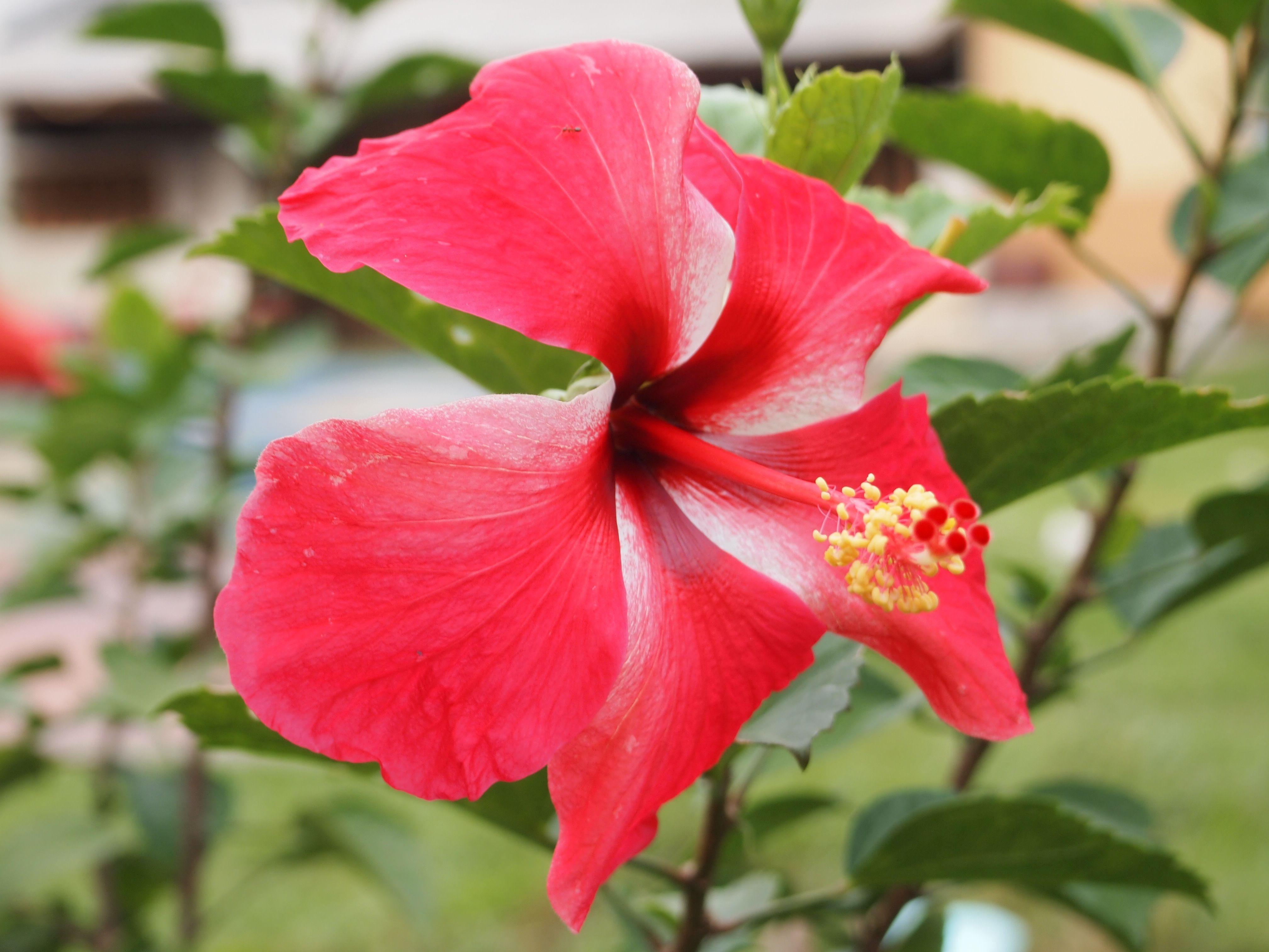 Hibiscus tea health benefits of drinking hibiscus tea veg hibiscus tea health benefits of drinking hibiscus tea izmirmasajfo