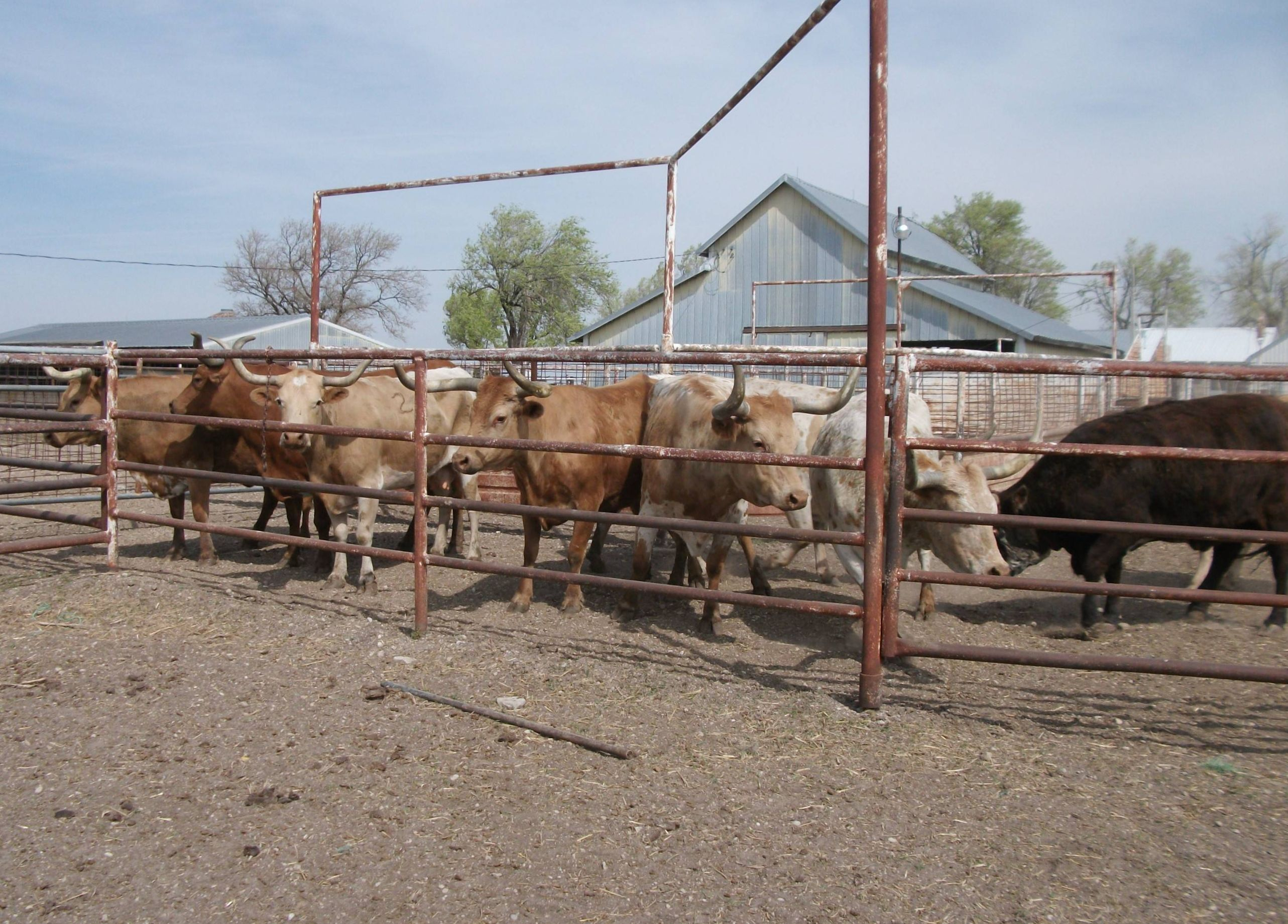 10 longhorn cows for sale kansas for more information click