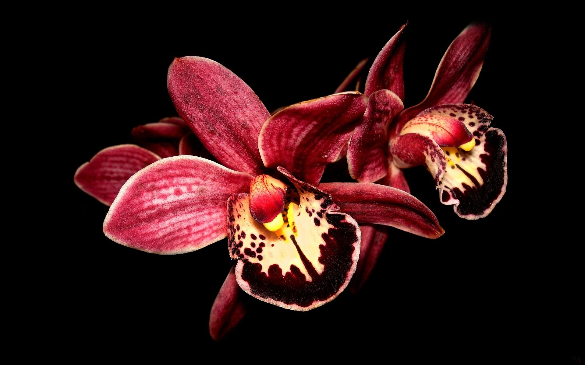 Download Wallpaper Orchid Wallpaper Red Orchids Orchid Images