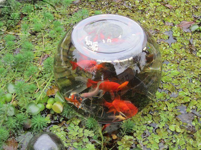 Mirador de peces para estanque jardin pinterest for Peces para fuente exterior