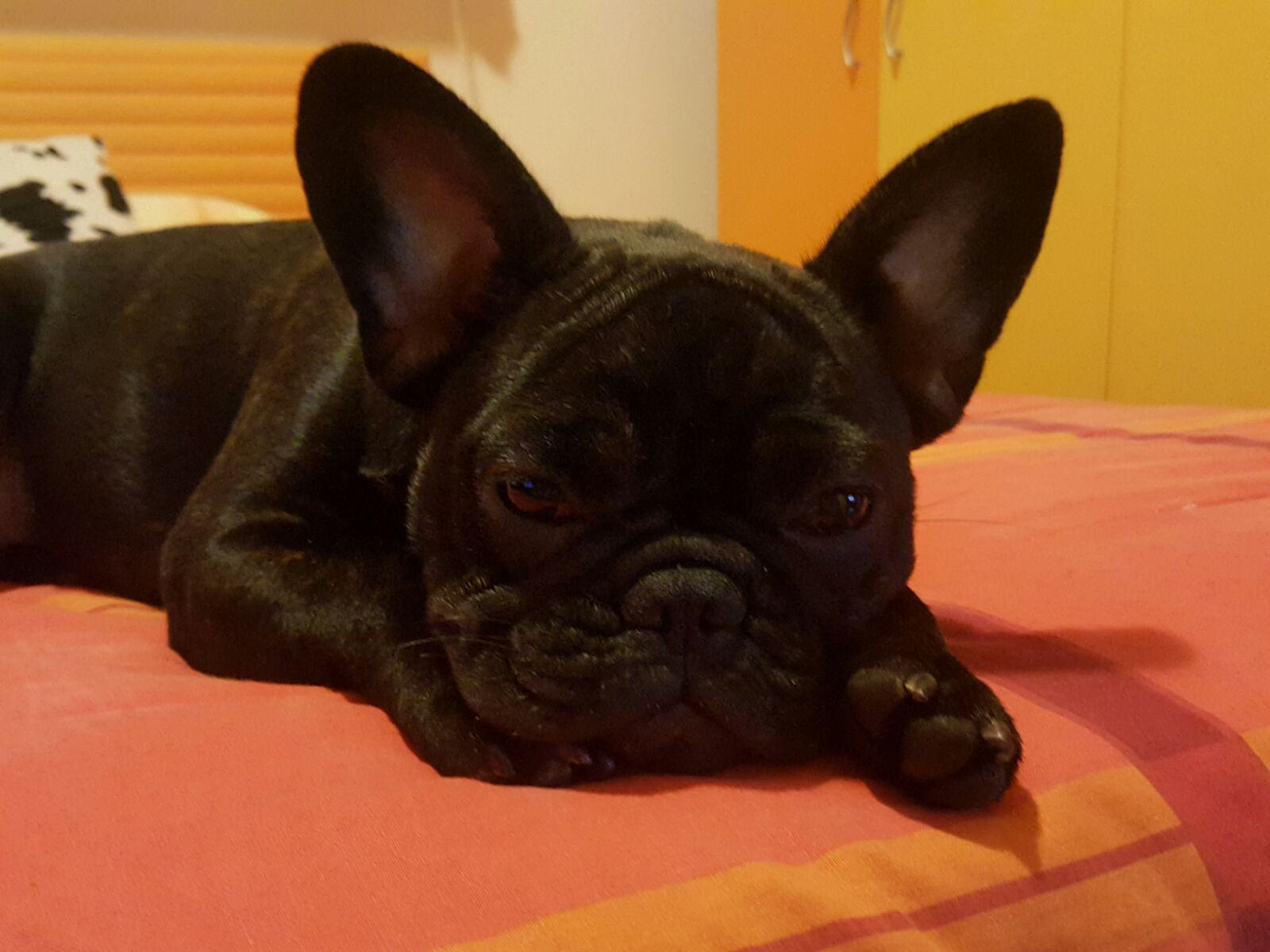 Meet Mya The French Bulldog Puppy Time French Bulldog French Bulldog Pictures