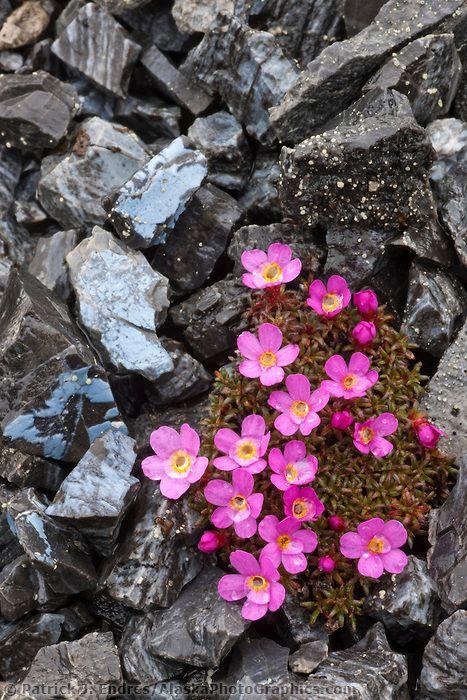 Deglacia Blooms Npr A Alaskaphotographics Com Rock Flowers Beautiful Flowers Rock Plants