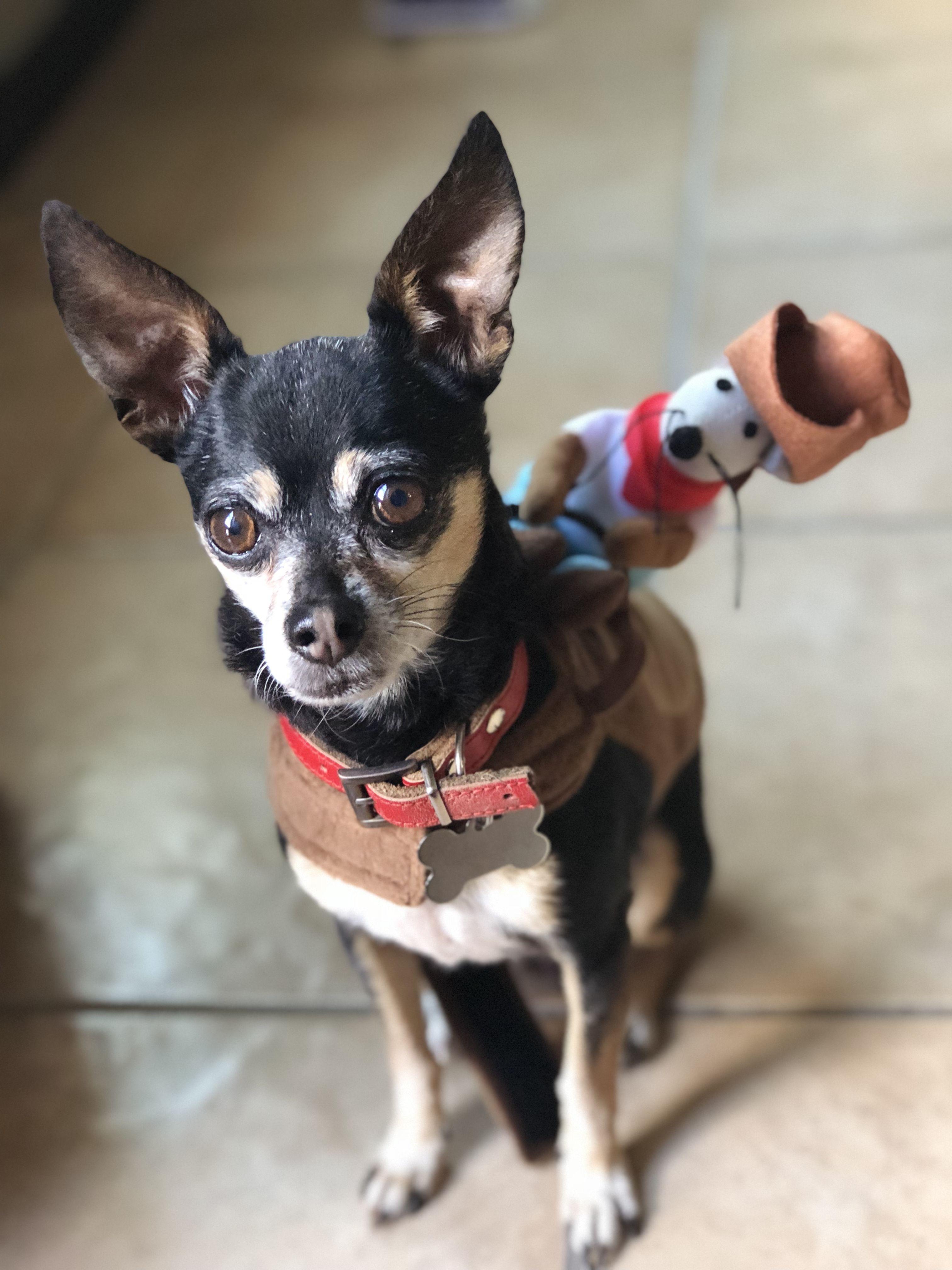 Chihuahua Halloween Costume & Chihuahua Halloween Costume | Cuteness | Pinterest