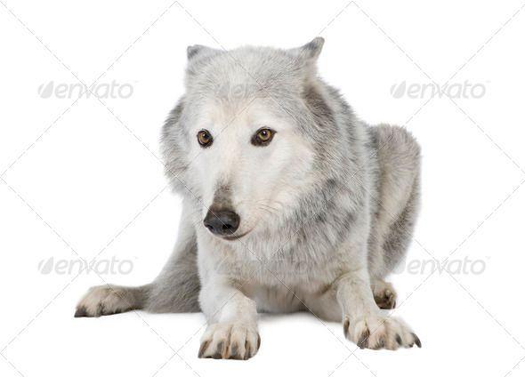 Mackenzie Valley Wolf 8 years  Canis lupus occidentalis by Lifeonwhite Mackenzie Valley Wolf 8 years C Canis lupus occidentalis in front of a white background