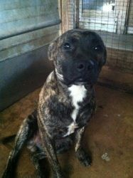 Neo Is An Adoptable American Bulldog Dog In Chipley Fl Neo Is A