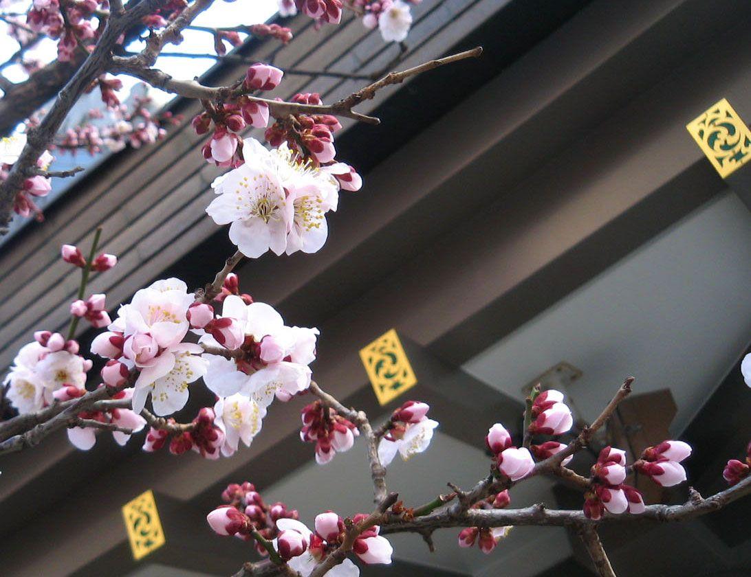 Pin By Shufootart On Flowers Green Sakura Cherry Blossom Japan Sakura Cherry Blossom
