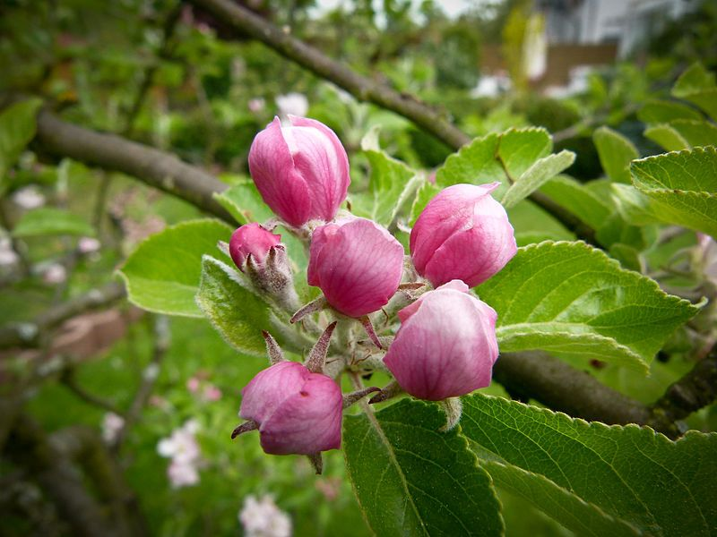 Apple Blossom in April. If you would enjoy the fruit, pluck not the flower.