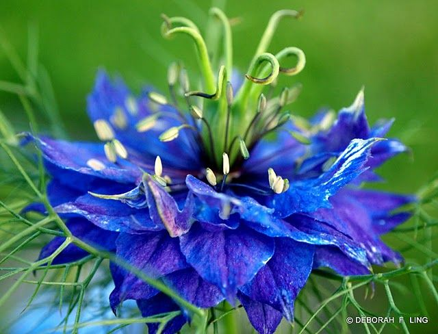 Blue Nigella There S An Entire Page Of Extremely Blue Flowers Here Blue Flower Pictures Flower Pictures Flower Garden Plants