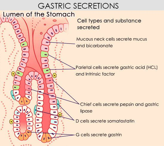 Understanding the human stomach anatomy with labeled diagrams gastric secretions ccuart Gallery