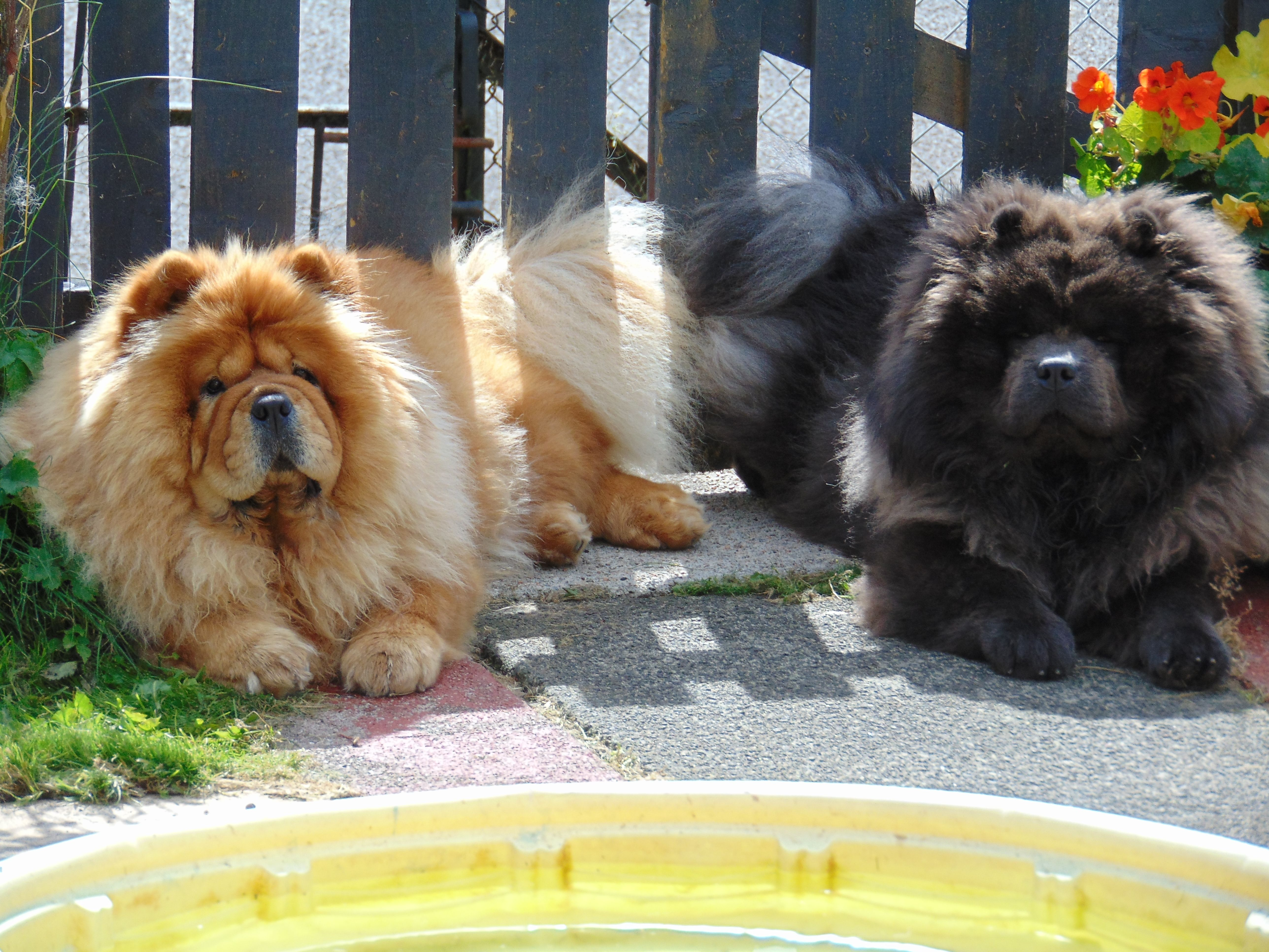 My Baby Chow Chows Left Mishka Female Right Vasili Male Blue