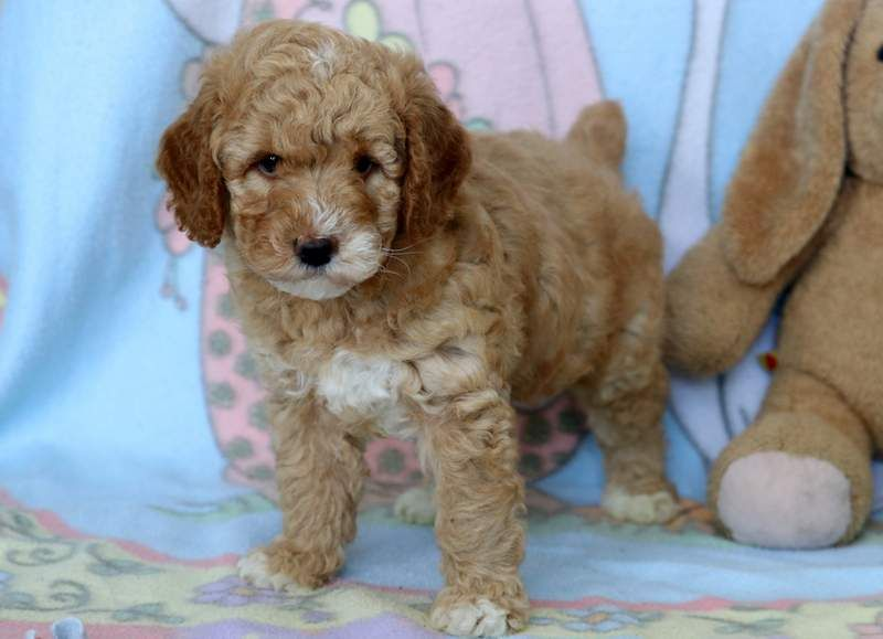 Poodle Miniature Puppy For Sale In Mount Joy Pa Adn 68514 On
