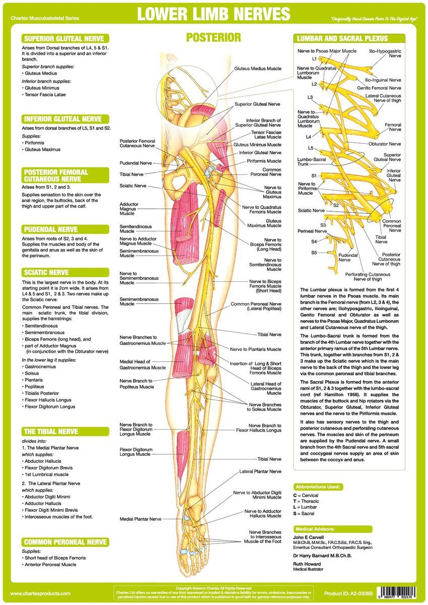 lower limb nerve anatomy chart posterior download nerve Plane Diagram of Lower Extremity Nerves