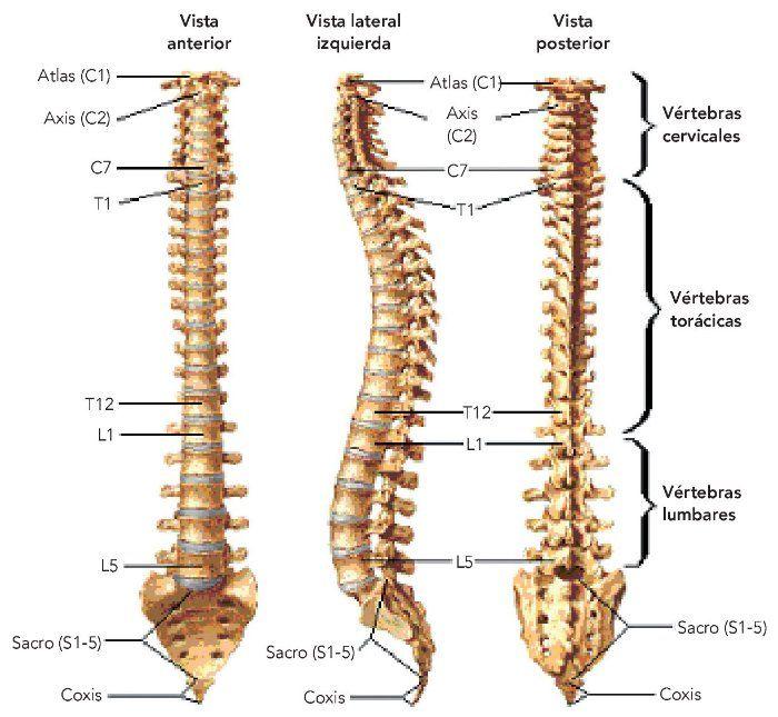estructura de la columna vertebral - Buscar con Google   Favoritos ...