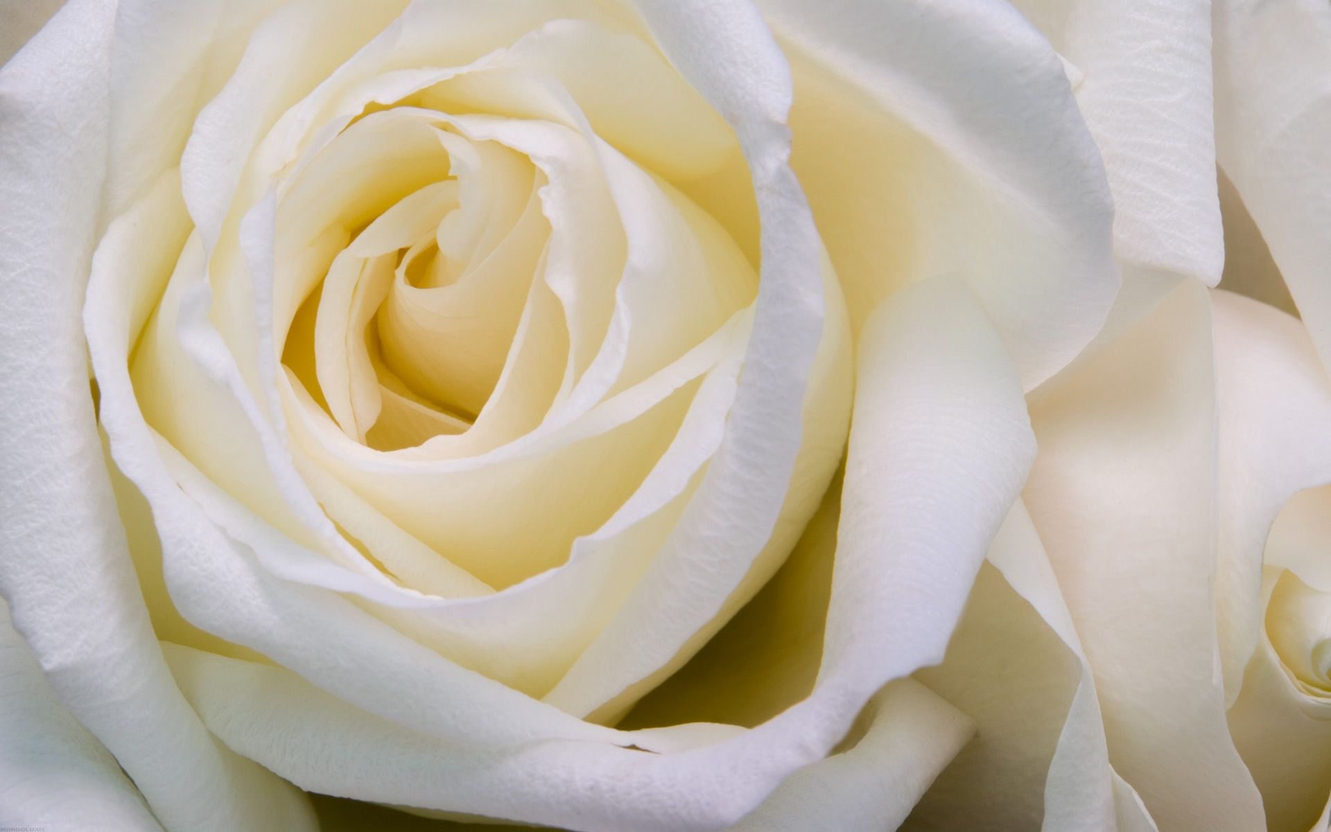 Lovely Flower White Rose Desktop Wallpaper HD 3 High Resolution Full Size