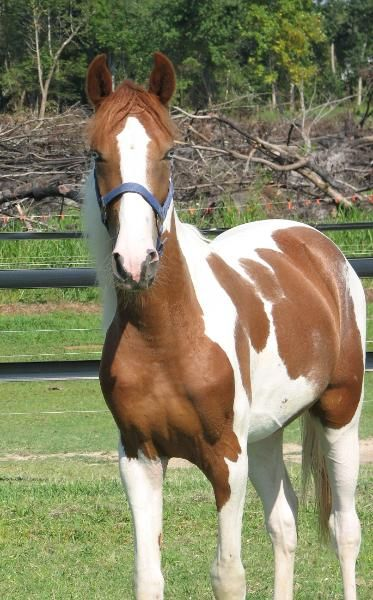 scarlettjane22:    Fortunes Crimson Traveler    Kentucky Mountain Horse  http://www.hamiltonstables.com/