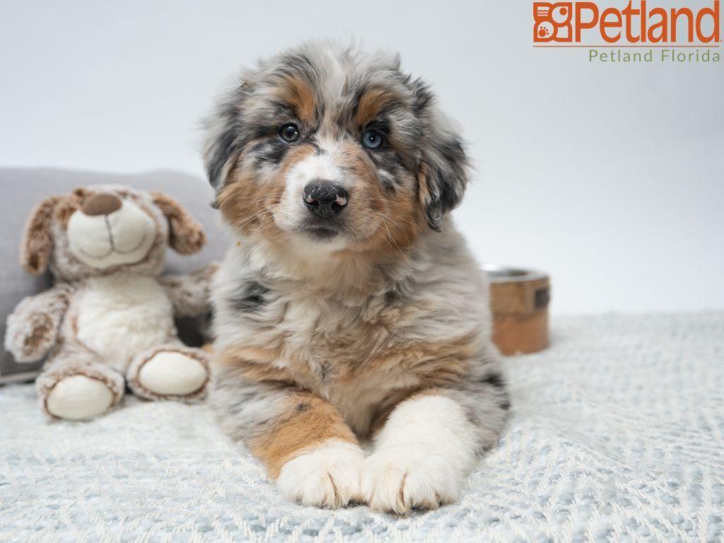 Puppies For Sale Australian Shepherd Puppies Puppies Australian Shepherd
