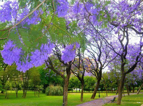 Jacaranda Mimosifolia Blue Rare Flowering Tree Flamboyan Delonix Seed 10 Seeds Ebay Flowering Trees Landscape Architecture Plan Outdoor Gardens