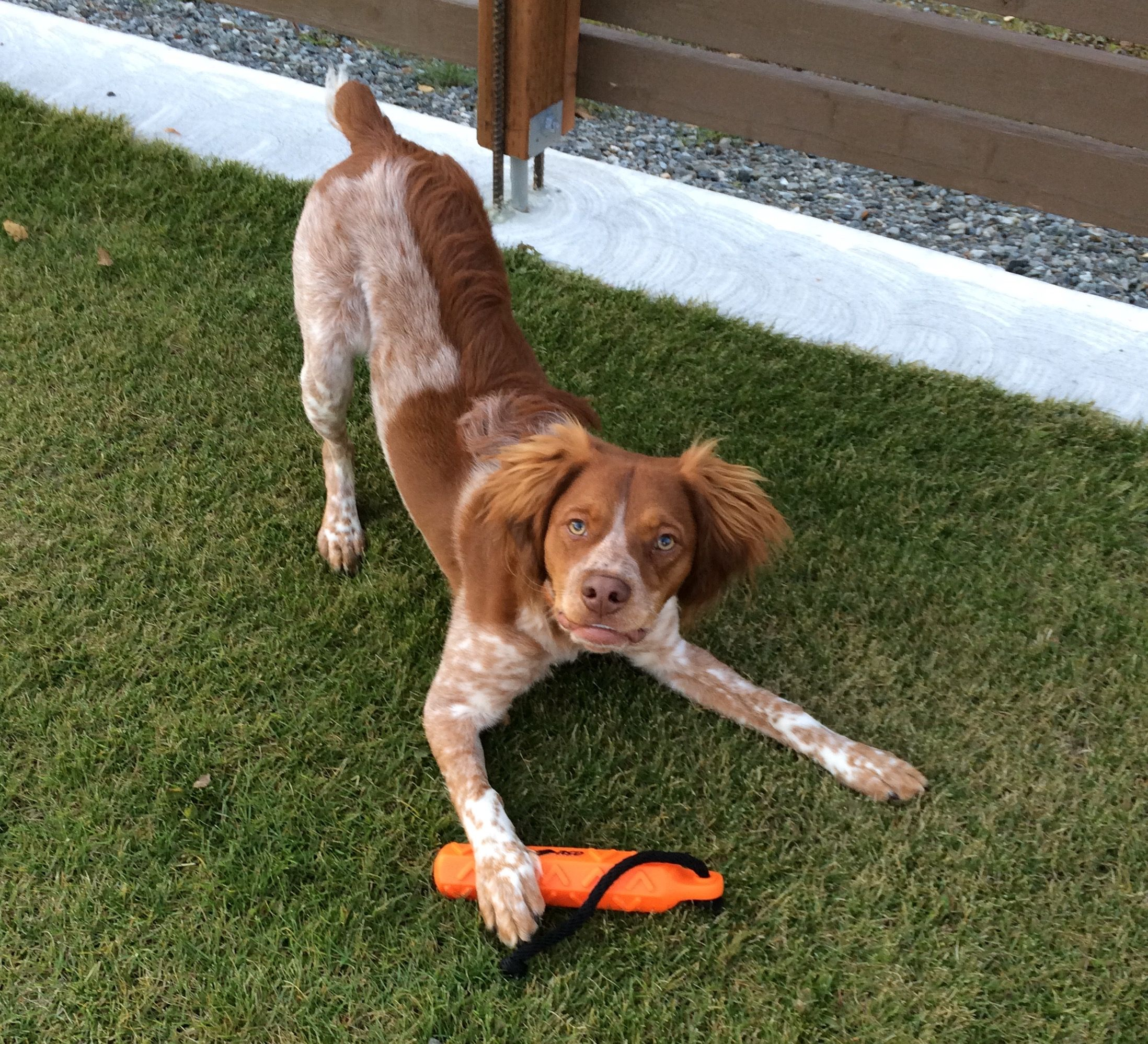 French Brittany Rudy From Palmer Alaska Brittany Dog I Love Dogs Dogs And Puppies