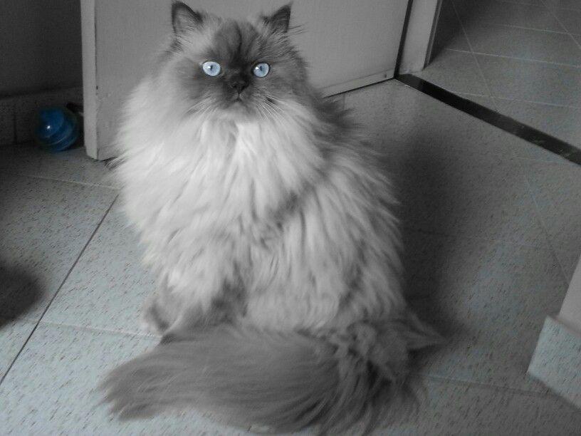 It S An Himalayan Cat Gorgeus Himalayan Cat Cute Cat Breeds Cats