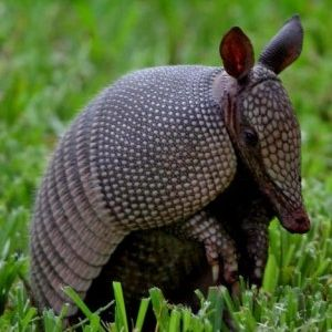 Armadillo - They eat insects and have strong claws which they use to dig for food and shelter.