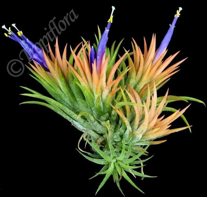 Tillandsia Ionantha Peach Air Plants