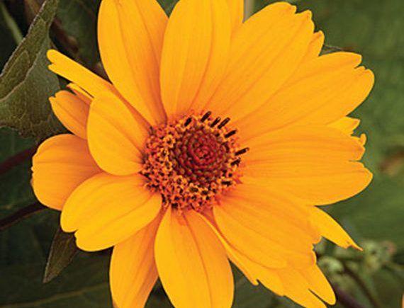 25 Drought Resistant Perennials Organic Gardening Tips 400 x 300