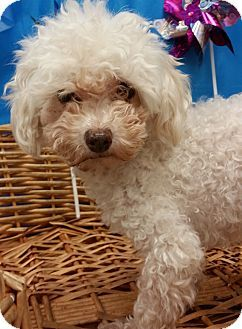 Decatur Al Poodle Toy Or Tea Cup Mix Meet Kimmie A Dog For