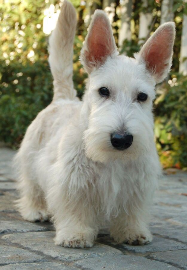Scottish Terrier Scottish Terrier Puppy Scottie Terrier