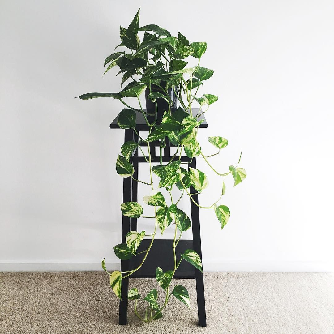 Golden Pothos Plant Stand Plant Corner Trailing Plants Air Purifying House Plants Clean Air Plants Plants Air Purifying House Plants Plants Golden Pothos Plant