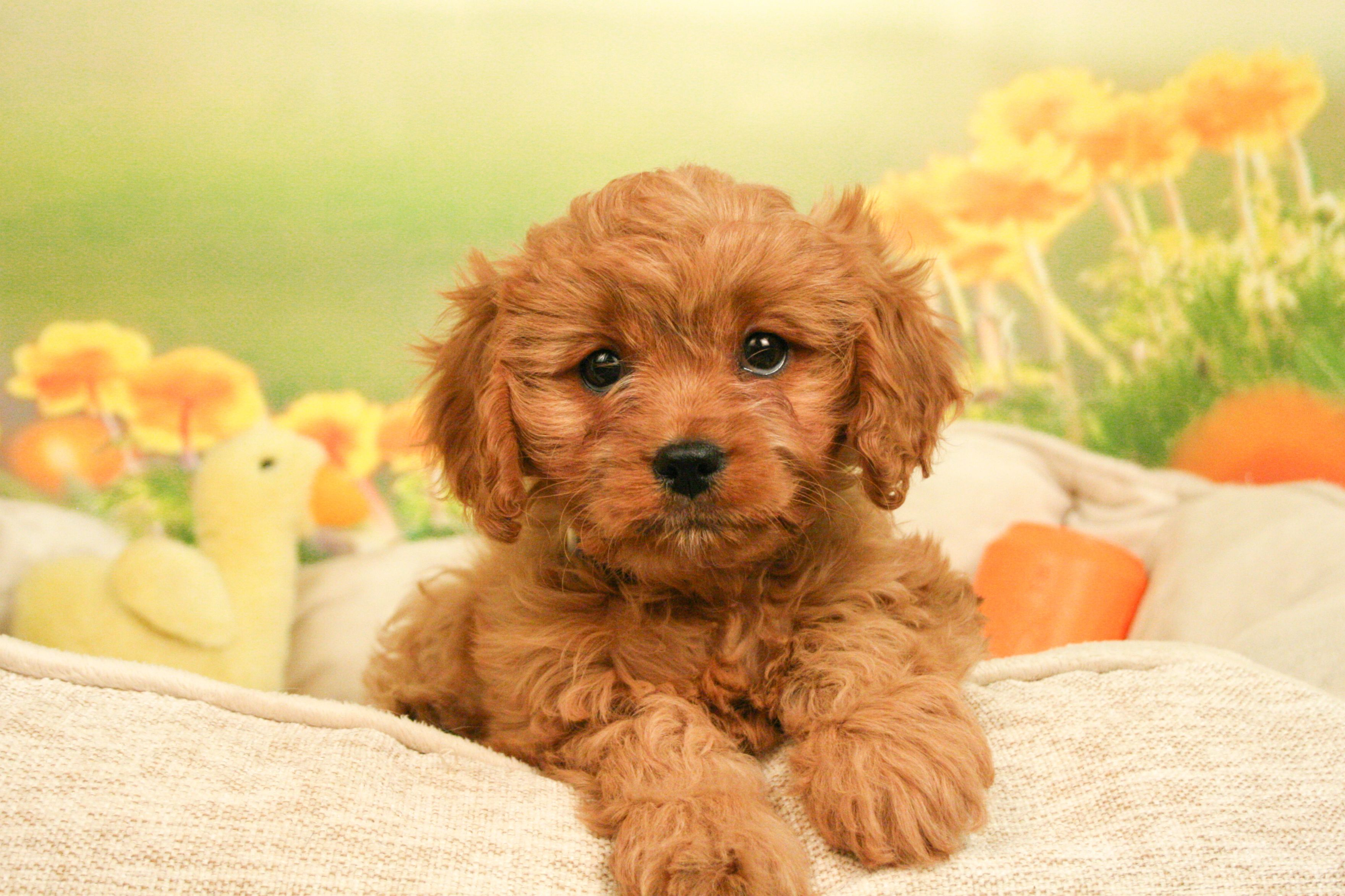 Cavapoo Puppies For Sale Cavalier King Charles Spaniel