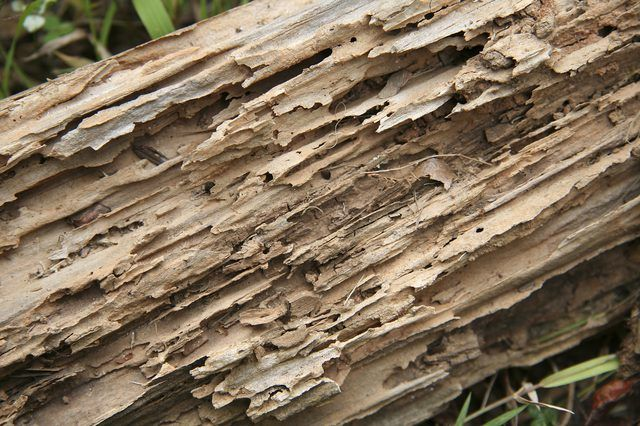 Recommended Wood Filler For Termite Damaged Wood Termite Damage Wood Termites Termites