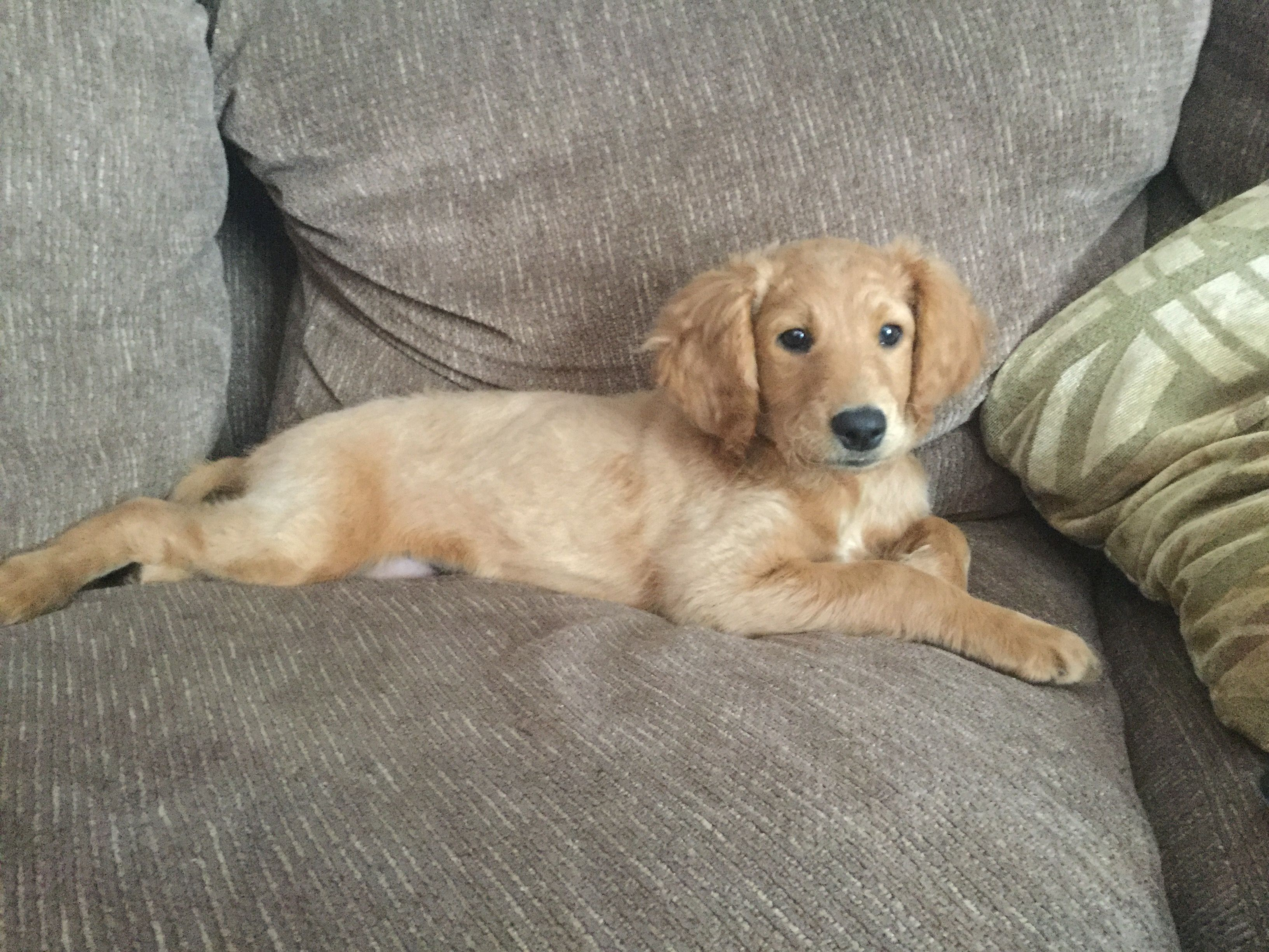 Winnie My Flat Coated Goldendoodle At