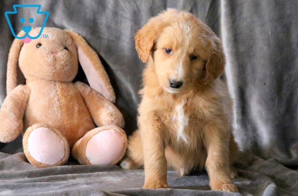 Bart Golden Retriever Mix Puppy For Sale Keystone Puppies