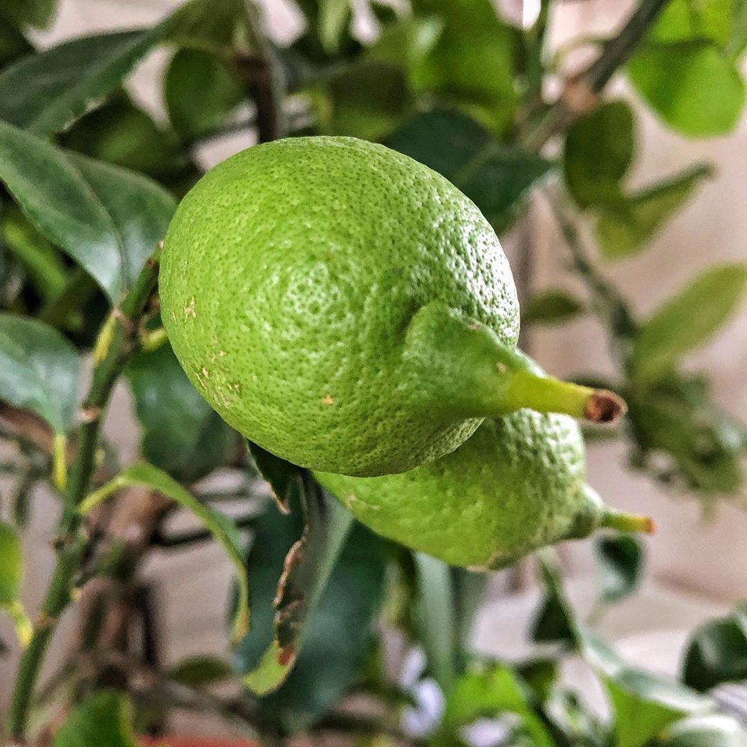 need of some advice! Since we don't have a greenhouse we've moved the lemontree into the unheated mudroom, where there is a lot of daylight. We'll water it only once a month during winter, as adviced. But it has a lot of unripe lemons on it! Will they ripe? Is there some...