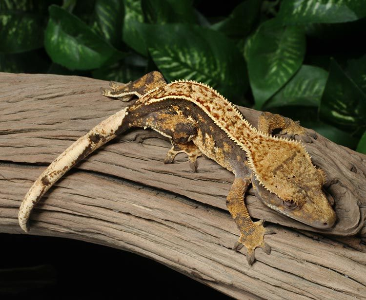 Crested Gecko for sale Bz65 | Geckos of every kind