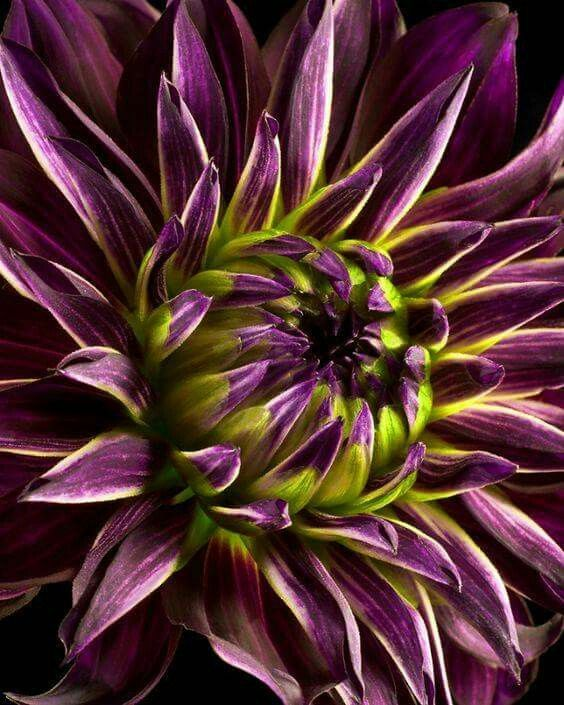 Purple haze dahlia
