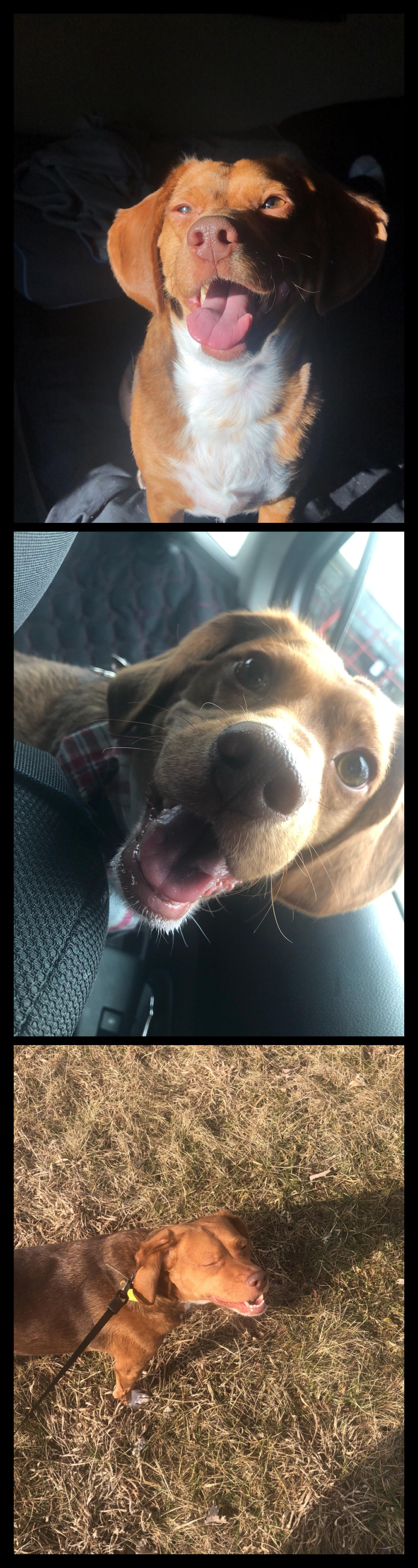 Vizsla puppies for adoption in california