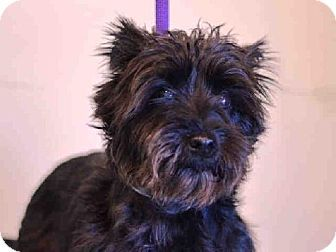 Brooklyn, NY - Miniature Schnauzer. Meet BELLA, a dog for adoption. http://www.adoptapet.com/pet/11729599-brooklyn-new-york-miniature-schnauzer