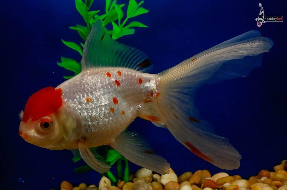 Group Of 3 To 4 Inch Blackout Comet Goldfish Live For Koi Fish Pond Tank Aquarium Colorsofkoifish Goldfish Goldfish Species Buy Goldfish