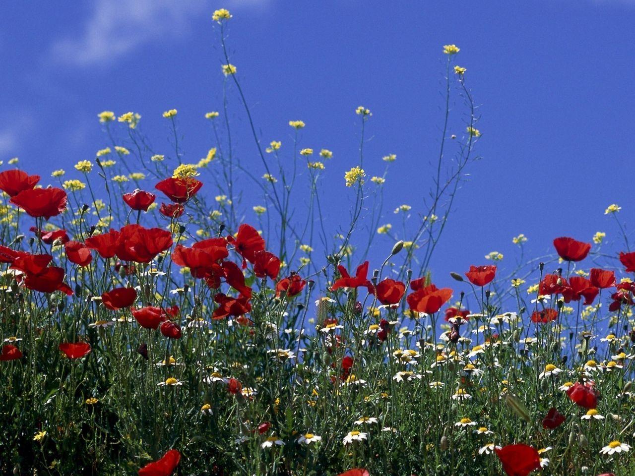 Foto Gratis Flores Fondo Naturaleza: Flores Imágenes Salvajes, Amapolas Fondos De Pantalla