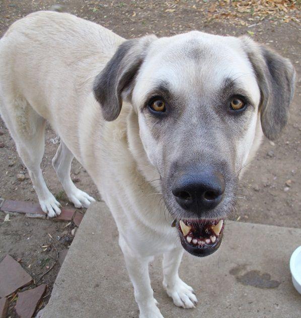 Loki Anatolian Shepherd New To Rescue Under Evaluation Big Dogs Huge Paws Inc Anatolian Shepherd Big Dogs Dogs