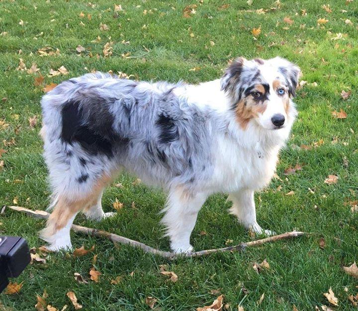 Lost Dog Delano Australian Shepherd Male Date Lost 12