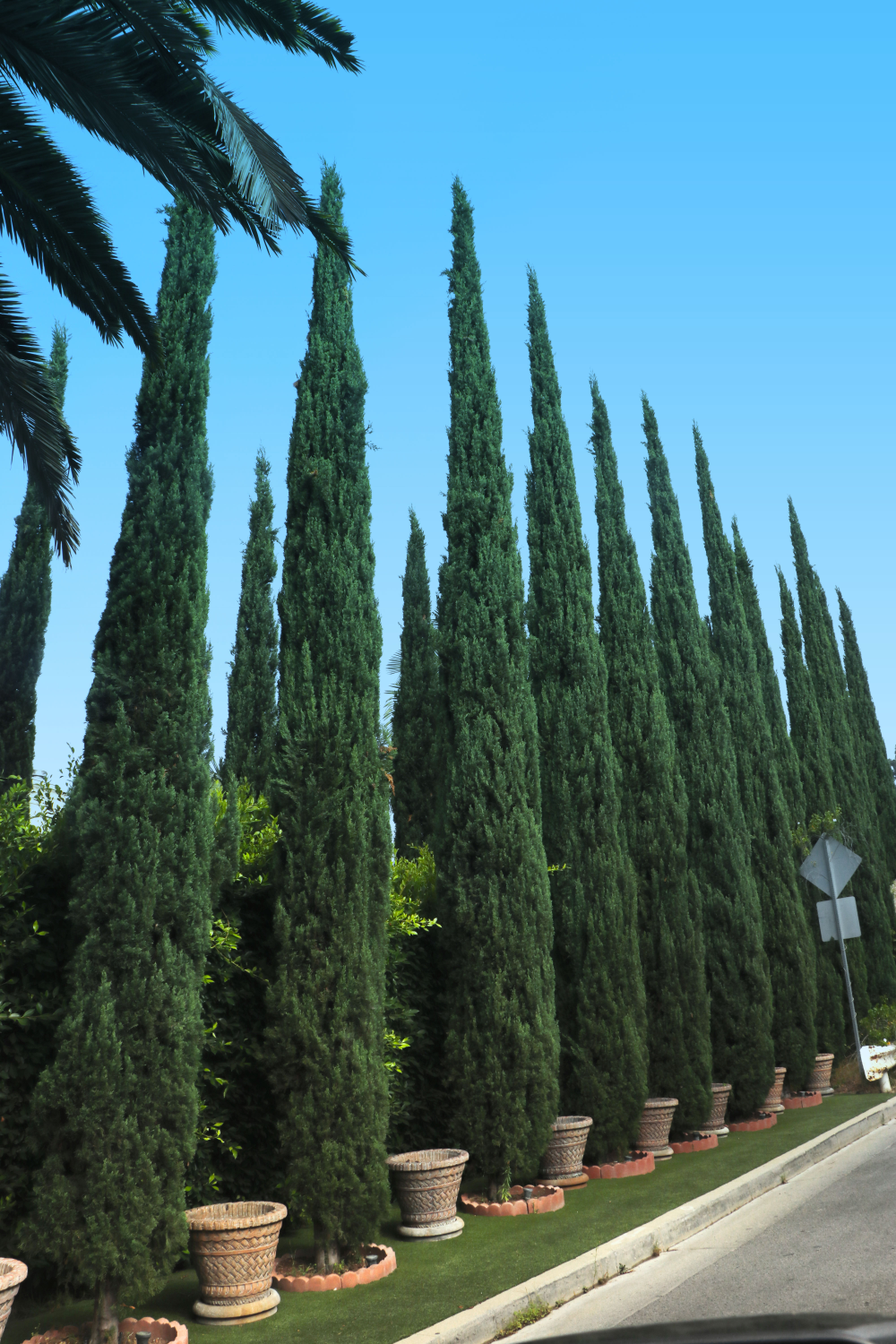 Italian Cypress Trees For Sale At Paradise Nursery Italian Cypress Trees Italian Cypress Cypress Trees